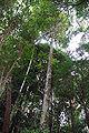 Calophyllum brasiliense DSC 0199.jpg
