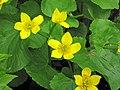 Caltha palustris (marsh marigold) (Gooseberry Falls State Park, Minnesota, USA) 1 (21890496353).jpg