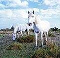 Camargue horse tvoekler2007.jpg