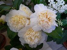 Википедия цветок камелия