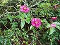 Camellia sasanqua 'Kanjiro' Thunb. (AM AK312702-2).jpg