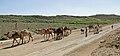 Camels in Dana Reserve 01.jpg