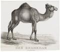 Camelus dromedarius - 1700-1880 - Print - Iconographia Zoologica - Special Collections University of Amsterdam - UBA01 IZ21600053.tif