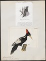 Campephilus imperialis - 1700-1880 - Print - Iconographia Zoologica - Special Collections University of Amsterdam - UBA01 IZ18700121.tif