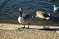 Canada goose at Wanstead Park Heronry Pond, Epping Forest, London, England.jpg