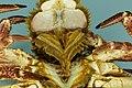 Cancer pagurus - Crabe dormeur - Tourteau - 016.jpg
