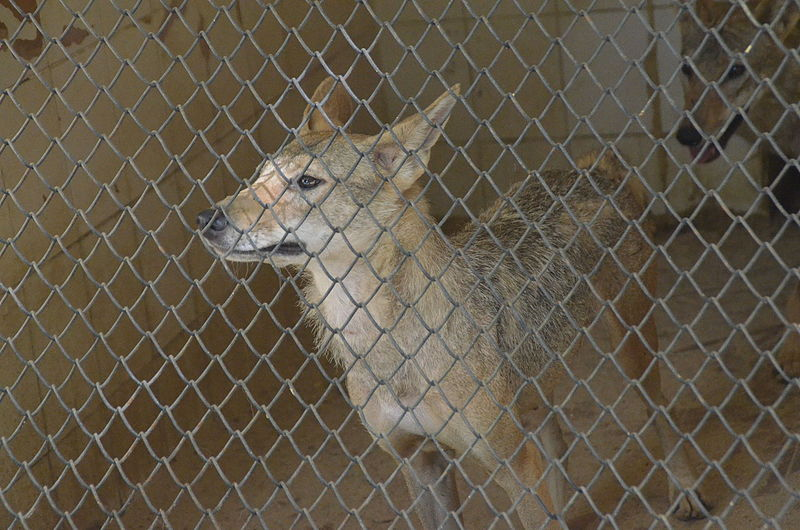 File:Canis anthus lupaster at Giza Zoo by Hatem Moushir 3.jpg