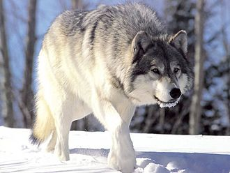 Environment of Iowa - Gray wolf, extirpated from Iowa, but occasionally visits from Minnesota or Wisconsin.