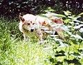 Canis lupus Hellabrunn1.jpg