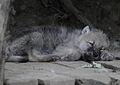 Canis lupus arctos - Tiergarten Schönbrunn 6.jpg