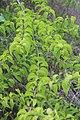 Canthium coromandelicum 1.jpg