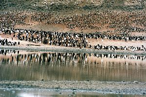 English: Adelie penguins at Cape Adare in Ross...