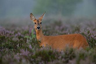 Devín Carpathians - Roe deer is abundant in the Devín Carpathians