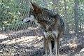 Captive male red wolf at Sandy Ridge (6350774321).jpg