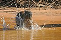 Capybara (Hydrochoerus hydrochaeris) splashing water ... (27783853412).jpg
