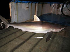 A large bronze-colored shark lying on the deck of a boat