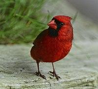 Cardinalis cardinalis m Toronto.jpg