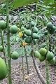 Carica papaya 28zz.jpg