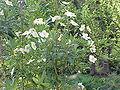 Carpenteria californica0.jpg