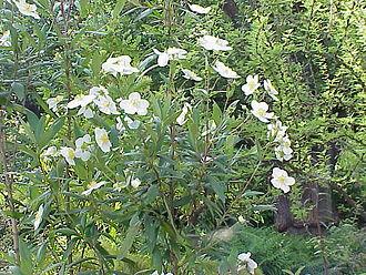 Carpenteria - Image: Carpenteria californica 0