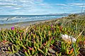 Carpobrotus edulis, South New Brighton Beach, Christchurch, New Zealand 05.jpg