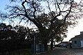 Carvalho-roble situado no lugar da Carvalheira, Guimarei - 10.jpg