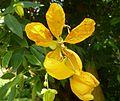 Cassia fistula, blom, a, Manie van der Schijff BT.jpg