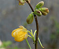Cassia occidentalis in Narshapur, AP W3 IMG 1105.jpg