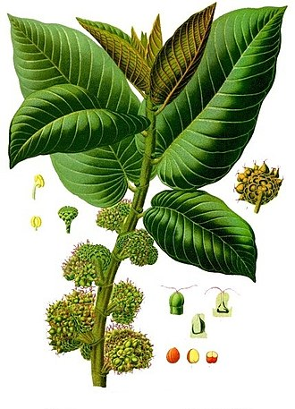 Moraceae - Panama rubber tree (Castilla elastica)