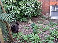 Cat in Hampstead garden - geograph.org.uk - 1803233.jpg