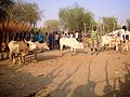 Cattle auction, Lankien, South Sudan (16696217177).jpg