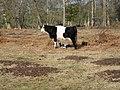 Cattle near Home Farm - geograph.org.uk - 136039.jpg
