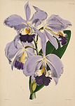 Cattleya warneri - Warner, Williams - Select orch. plants 1, pl. 8 (1862-1865).jpg