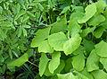 Caulophyllum and Jeffersonia.jpg