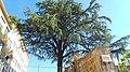 Cedro del Libano, Salita Pontecorvo 72, Napoli (terza foto).jpg