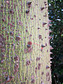 Ceiba pubiflora 3 - Jardin Botanico Malaga.jpg