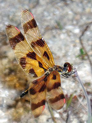 Halloween Pennant dragonfly, taken at Loxahatchee Preserve,  2006/06/17.