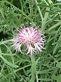 Centaurea cineraria 1.jpg