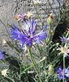 Centaurea cyanus b.jpg