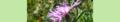 Centaurea jacea. Reader-2.png