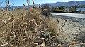 Centaurea stoebe ssp. micranthos 3.jpg
