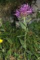 Centaurea uniflora-nervosa PID864-2.jpg
