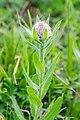 Centaurea uniflora at Lac de Roy (2).jpg