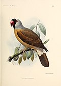 1893 illustration by John Gerrard Keulemans