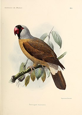 Mascarene parrot Extinct species of bird from Réunion
