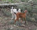 Central Asian Shepherd and Nubian goat.jpg