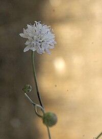 Cephalaria joppensis flower