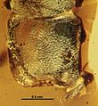 Cephalotes caribicus SMNSDO5383 head.jpg