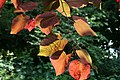 Cercis canadensis 'Forest Pansy' JPG1Fe.jpg