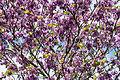 Cercis siliquastrum - Erguvan - Judas tree 03.jpg